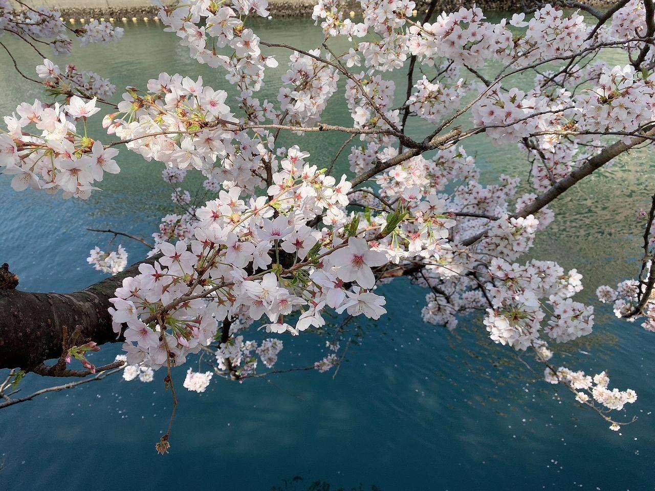 2021年3月27日の大岡川の桜